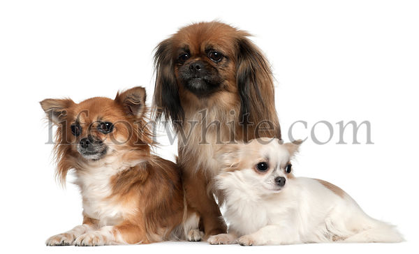 Chihuahuas and Pekingese, 1, 2, and 2 and a half years old, in front of white background