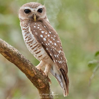 Stare of a White-browed Hawk-Owl