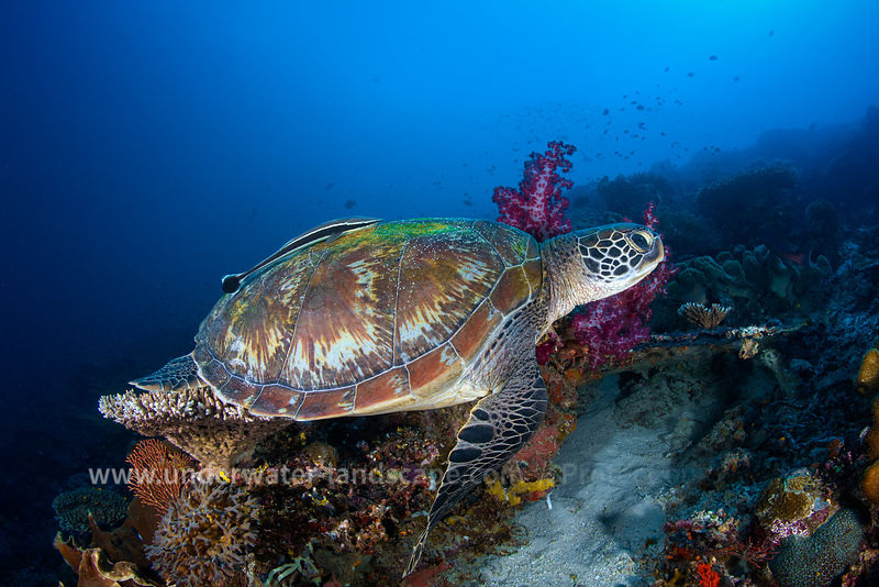 Raja Ampat's green turtle