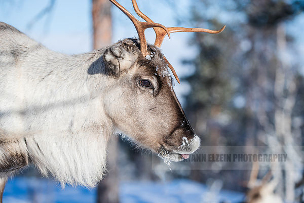 Close up of a reindeer in the sunlight and sticking its tongue