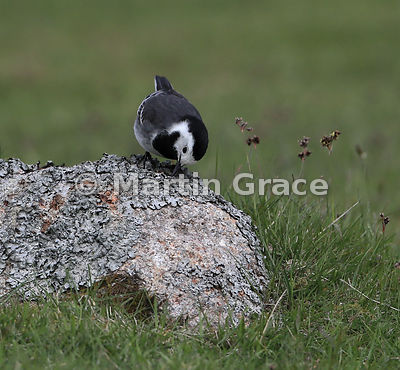 Pied Wagtail (Motacilla alba yarrellii) wiping its bill on a lichen-covered rock, Glen Tanar, Aberdeenshire, Scotland