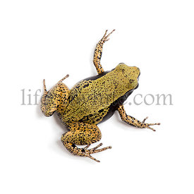 Yellow mantella or eastern mantella, Mantella crocea, in front of white background