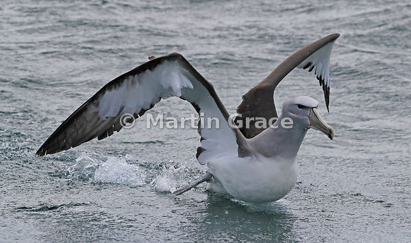 Salvin's Mollymawk (Salvin's Albatross) (Thalassarche salvini) taking off, Stewart/Rakiura & Ulva Islands, South Island, New ...