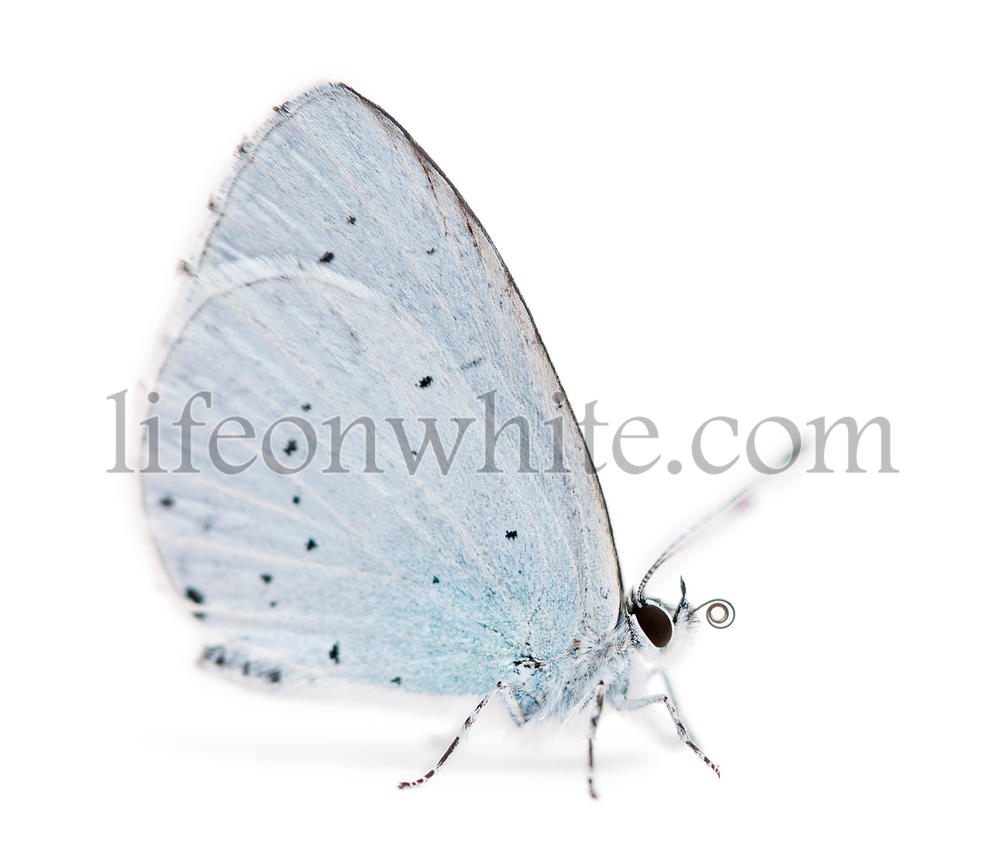 Side view of a Holly Blue landed on the ground, showing proboscis, Celastrina argiolus, isolated on white