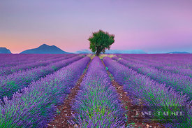 Lavender field and almond tree (lat. lavandula) - Europe, France, Provence-Alpes-Cote d'Azur, Alpes de Haute Provence, Forcal...