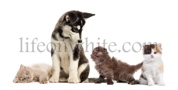 Husky malamute puppy sitting and surrounded by kittens