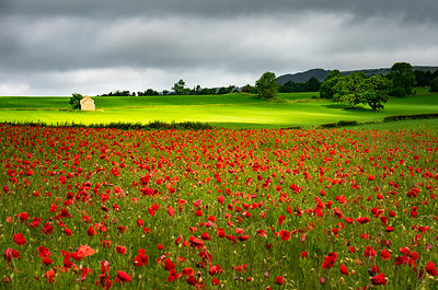 Peak District poppy field
