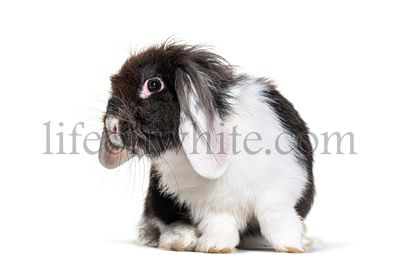 Shaggy Black and white Lop Rabbit, isolated on white
