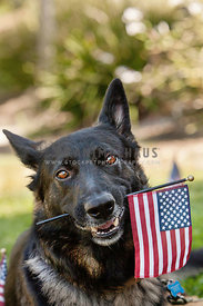 German Shepherd holding a small American flag in his mouth looking cute