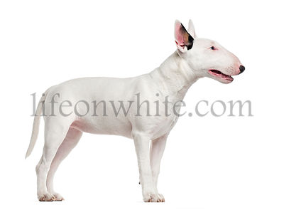Bull Terrier isolated on white