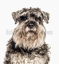 Close-up of Miniature Schnauzer, 2 years old, isolated on white