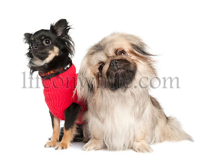 couple of a Pekingese and a chuihuahua