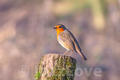European robin perched on tree trunk.