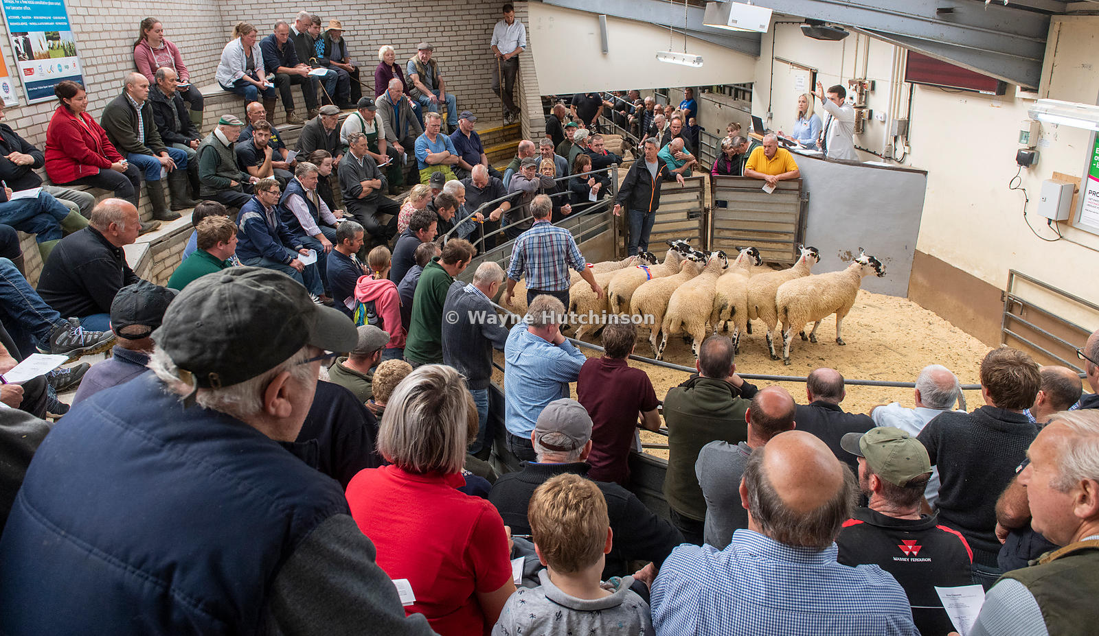 Mule shearlings being sold at Lancaster Auction mart at a breeding sale. Lancashire, UK