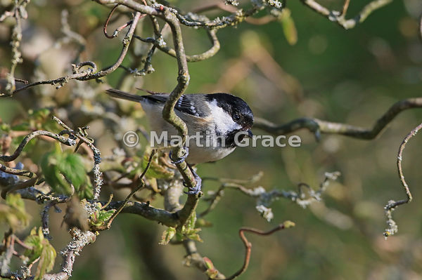 Coal Tit (Periparus (Parus) ater) perching in Contorted Hazel (Corylus avellana Contorta) by the garden pond, Lake District N...