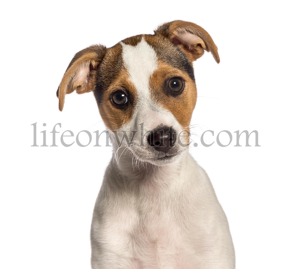 Smooth Fox Terrier, 3 months old, in front of white background