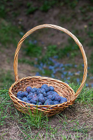 Prunus-Basket filled with plum quetsches 'Stanley' in summer∞Panier rempli de prunes 'Stanley', France, Alsace, été
