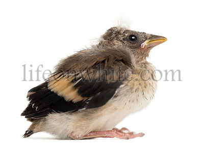 Side view of an European Goldfinch chick, Carduelis carduelis, against white background
