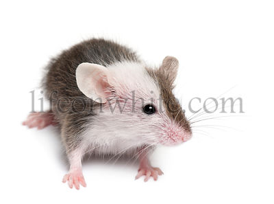 Young mouse in front of white background