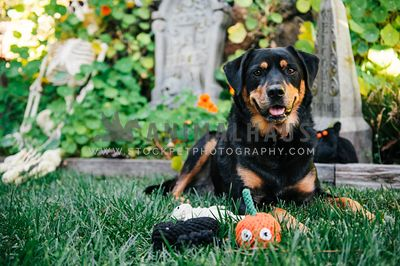 A black and tan dog in the backyard surrounded by Halloween toys