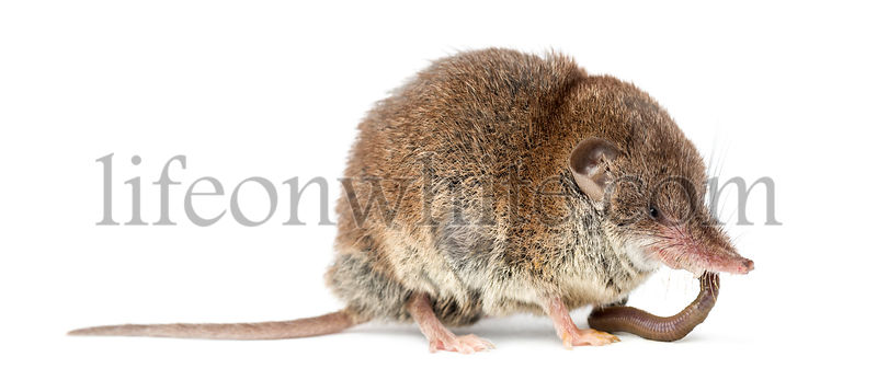 White-toothed shrew eating an earthworm, isolated on white