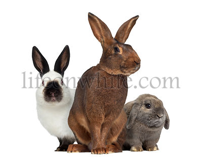 Belgian Hare and Russian rabbit and Holland Lop rabbit isolated on whiteisolated on white