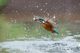 Common Kingfisher  Alcedo atthis diving for fish Worcestershire
