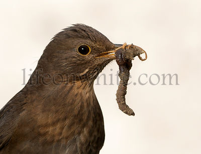 Close-up of a female Blackbird holding a worm in its beak
