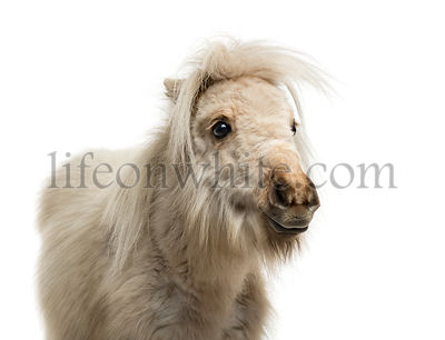 Shetland Pony isolated on white
