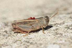 Closeup of the Italian locust, Calliptamus italicus , with red parasites on the back in the Gard, France