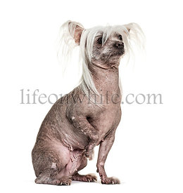Chinese Crested Dog is a hairless breed, isolated on white