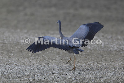 White-Faced Heron (Egretta novaehollandiae) about to take off, Miranda, Firth of Thames, North Island, New Zealand