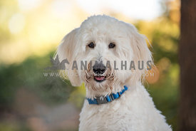 close up of smiling white doodle wearing blue collar