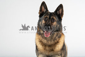 close up of smiling german shepherd on white background