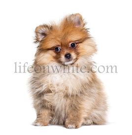 Young Pomeranian staring at the camera, isolated on white
