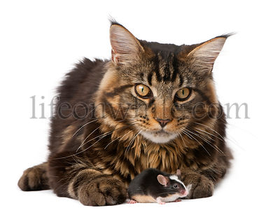 Maine Coon and mouse, 7 months old, sitting