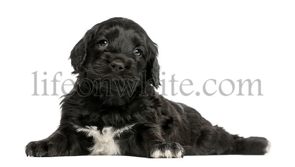 Portuguese Water Dog (6 weeks old) isolated on white
