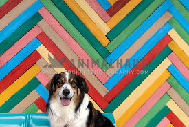 An English Shepherd in front of a colorful wall