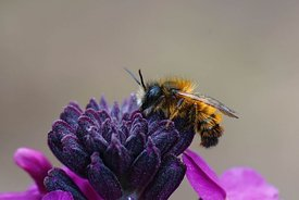 Closeup of a fresh emerged male red mason bee , Osmia rufa, on a purple wallflower, Erisymum cheiri