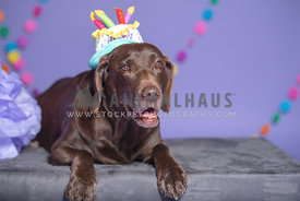 older chocolate lab wearing birthday cake hat