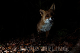 Red Fox Vulpes vulpes in woodland Kent at night