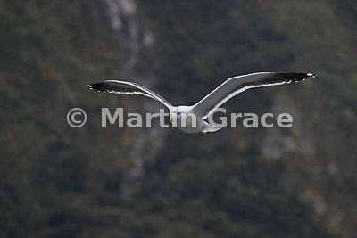 Southern Black-Backed Gull (Larus dominicanus dominicanus) in flight with the steep slopes of Doubtful Sound behind, Fiordlan...