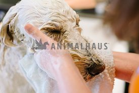 A close up of a doodle getting his face washed at the groomers
