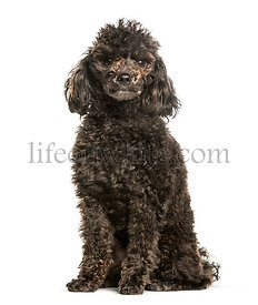 Toy poodle sitting against white background