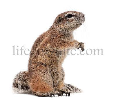 Cape Ground Squirrel, Xerus inauris, standing against white background