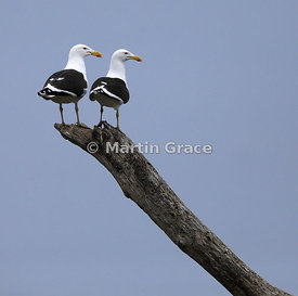 Pair of Southern Black-Backed Gulls (female on the right) (Larus dominicanus dominicanus), Kapiti Island, North Island, New Z...