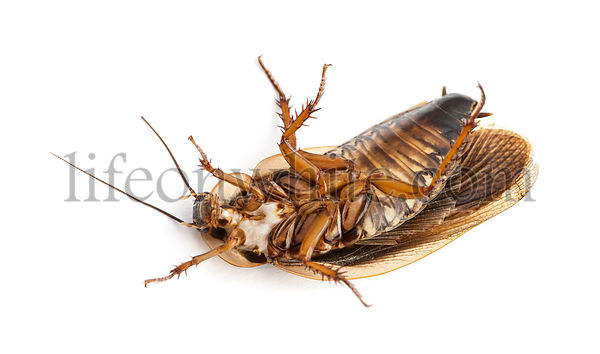 Cockroach lying on back against white background