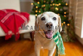 Close up of happy dog in green scarf in front of Christmas Tree