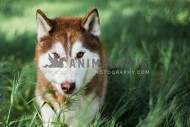 A red husky in a field of tall green grasses