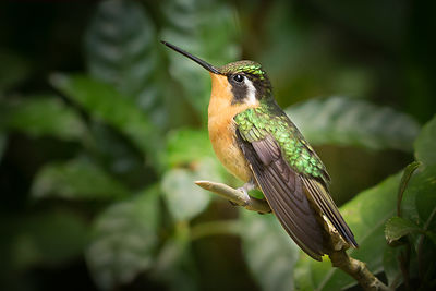 Purple-throated Mountain Gem Hummingbird